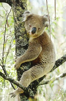 Koala Poster by B. G. Thomson