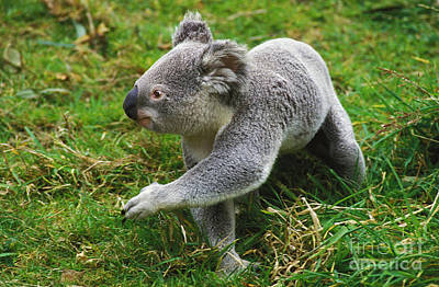 Koala Phascolarctos Cinereus Poster by Gerard Lacz