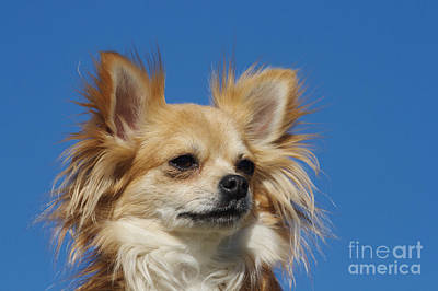 Long-haired Chihuahua Poster by Brinkmann/Okapia
