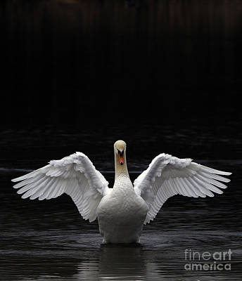 Mute Swan Stretching It's Wings Poster by Urban Shooters