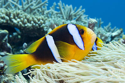 Orange Fin Anemonefish Poster by Dave Fleetham - Printscapes