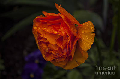 Orange Ranunculus Blossom With Water Drops Poster by Mandy Judson