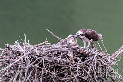 Osprey Mom Feeding Fish To The Young Osprey Poster by Dan Friend