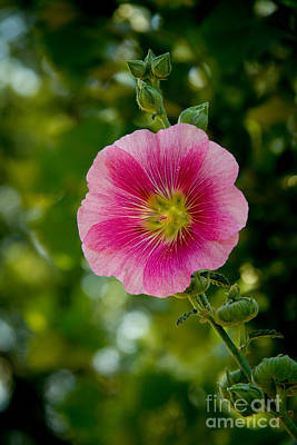 Pink Hollyhock Poster by Robert Bales