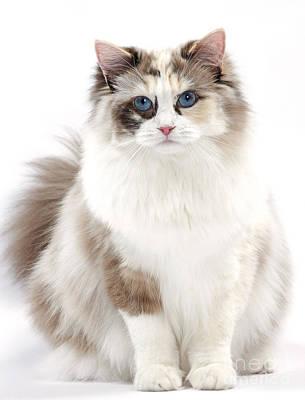 Ragdoll Kitten Poster by Jean-Michel Labat