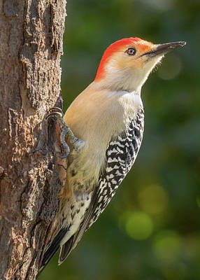 Red Bellied Woodpecker Poster by Jim Hughes