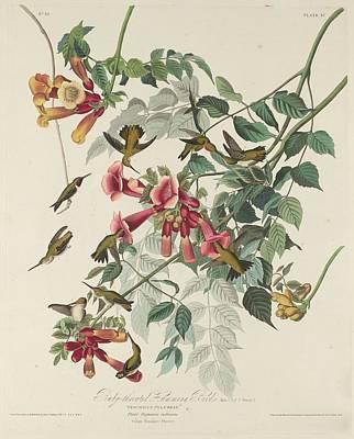 Ruby-throated Hummingbird Poster by John James Audubon
