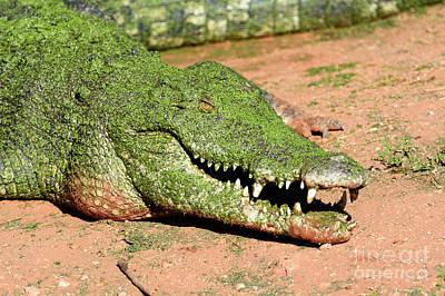 Saltwater Crocodile, Crocodylus Porosus, Australia Poster by Genevieve Vallee