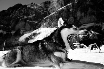 Sleepy Husky Poster by Mountain Dreams