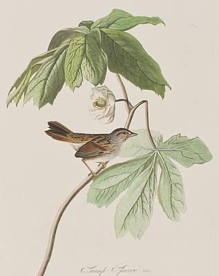 Swamp Sparrow Poster by John James Audubon