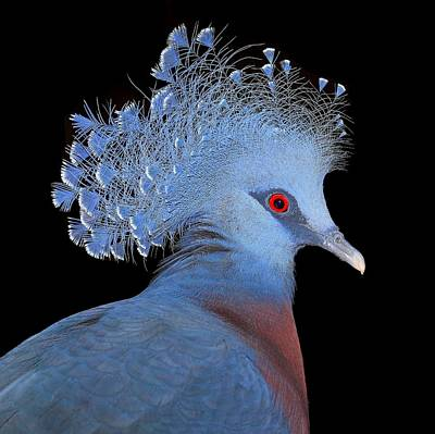 Victoria Crowned Pigeon Poster by John Absher