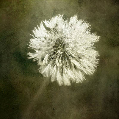 Water Drops On Dandelion Flower Poster by Scott Norris