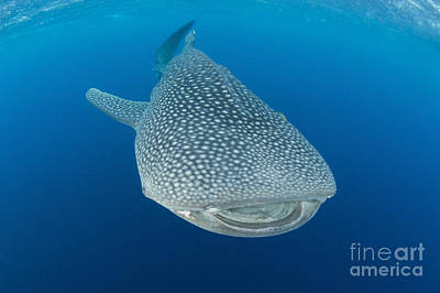 Whale Shark Descending To The Depths Poster by Mathieu Meur