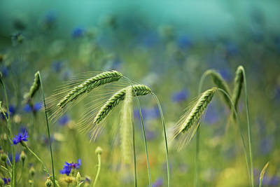 Wheat And Corn Flowers Poster by Nailia Schwarz