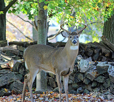 Whitetail Deer Poster by Steve Gass