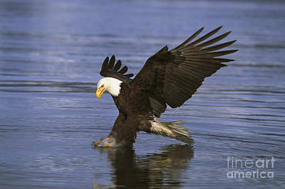Bald Eagle Poster by John Hyde - Printscapes