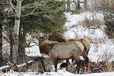 2 Bull Elk In May Snowstorm Poster by David Wilkinson