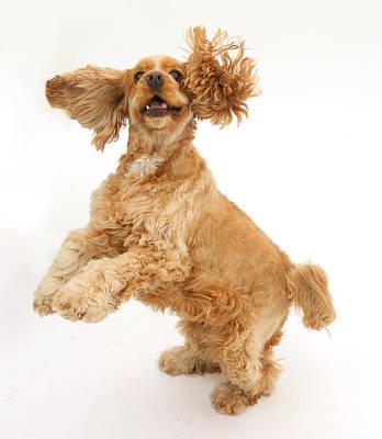 Golden Cocker Spaniel Dog Poster by Mark Taylor