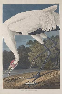 Hooping Crane Poster by John James Audubon