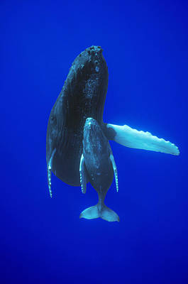 Humpback Whale Mother And Calf Off Maui Poster by Flip Nicklin