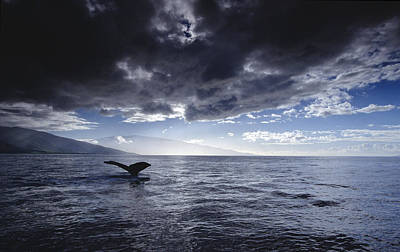 Humpback Whale Tail Maui Hawaii Poster by Flip Nicklin