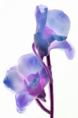 Orchid Morphing II Poster by Leda Robertson