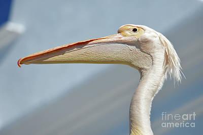 Pelican Poster by George Atsametakis