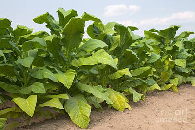 Tobacco Field Poster by Inga Spence