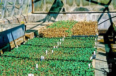 Transgenic Cotton Plants Poster by Inga Spence