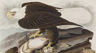 White-headed Eagle Poster by John James Audubon