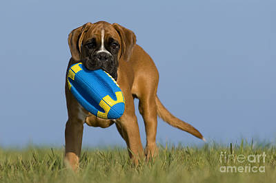 Boxer Puppy Poster by Jean-Louis Klein & Marie-Luce Hubert