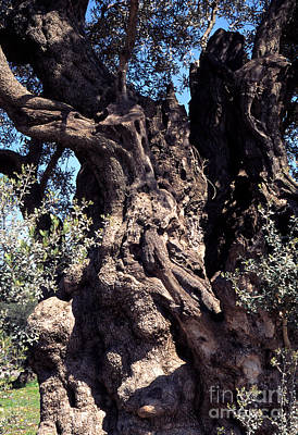 2000 Year Old Olive Tree Poster by Thomas R Fletcher