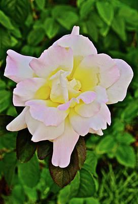 2016 July At The Garden Blushing Rose Poster by Janis Nussbaum Senungetuk