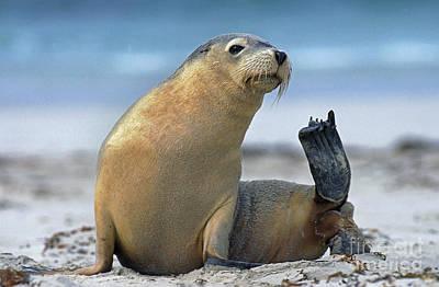 Australian Sea Lion Neophoca Cinerea Poster by Gerard Lacz