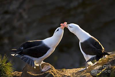 Black-browed Albatross Couple Poster by Jean-Louis Klein & Marie-Luce Hubert