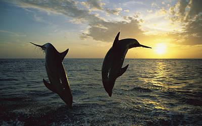 Bottlenose Dolphin Tursiops Truncatus Poster by Konrad Wothe