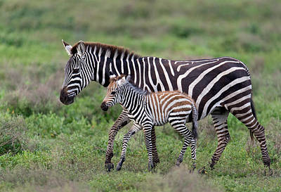 Burchells Zebra Equus Quagga Burchellii Poster by Panoramic Images