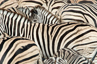 Burchells Zebras Equus Quagga Poster by Panoramic Images