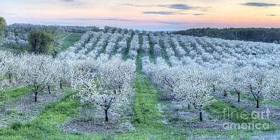 Cherry Blossoms In Traverse City Poster by Twenty Two North Photography