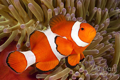 Clown Anemonefish Poster by Dave Fleetham - Printscapes