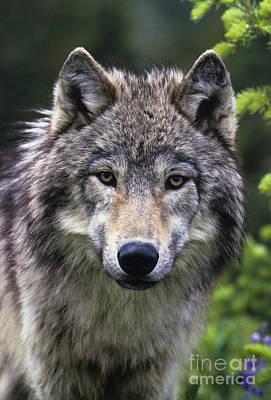 Gray Wolf Poster by Jean-Louis Klein & Marie-Luce Hubert