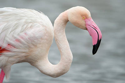 Greater Flamingo Phoenicopterus Roseus Poster by Panoramic Images