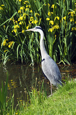 Grey Heron Poster by Georgette Douwma