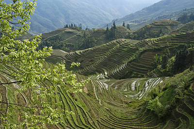 Longsheng Rice Terraces Poster by Michele Burgess