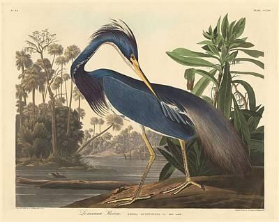 Louisiana Heron Poster by John James Audubon