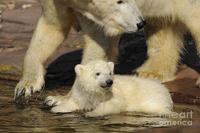 Polar Bear And Cub Poster by David & Micha Sheldon