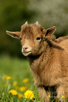 Pygmy Goat Capra Hircus Poster by Gerard Lacz