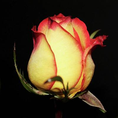 Single Rose Poster by Cathie Tyler
