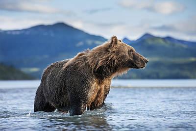 Coastal Brown Bear  Ursus Arctos Poster by Paul Souders