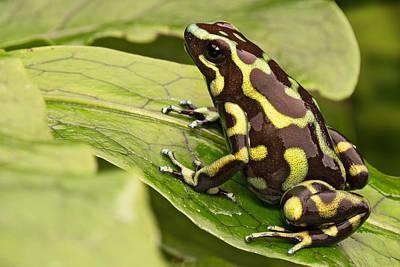 Golden Poison Dart Frog Poster by Dirk Ercken